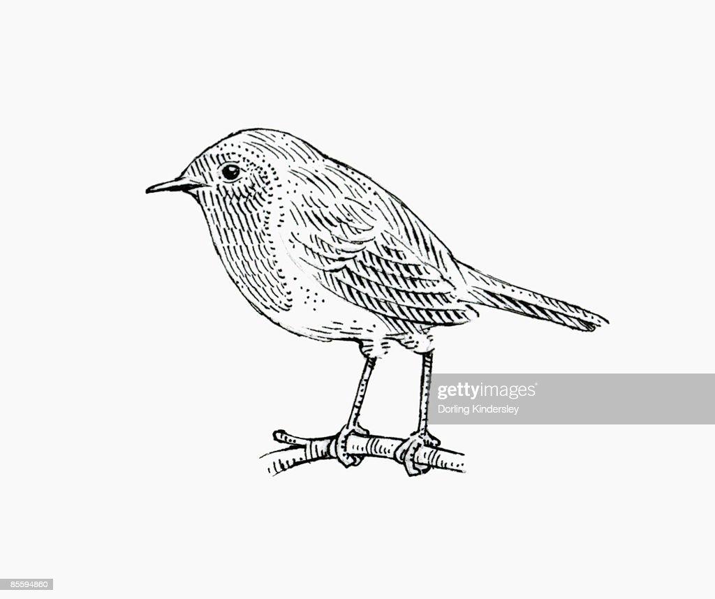 Black and white illustration of European Robin (Erithacus rubecula), perching on stem : Stock Illustration