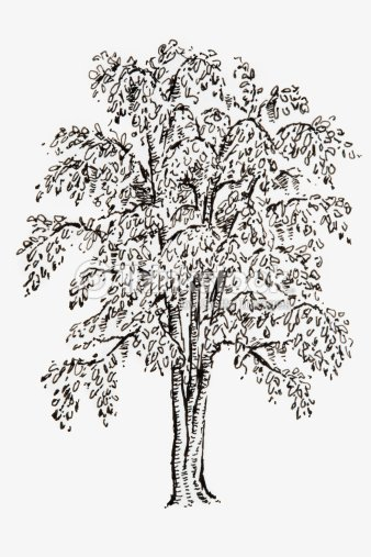 black and white illustration of ginkgo biloba living fossil tree with fanshaped leaves stock. Black Bedroom Furniture Sets. Home Design Ideas
