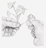 Black and white illustration of hands rubbing away the outer casings of an honesty seed head, to expose the silver centre filaments