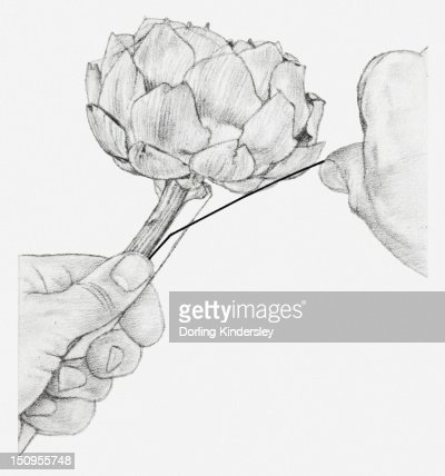 Black and white illustration of hands wiring a dried globe artichoke, with a piece of cane placed against the stem : Stock Illustration
