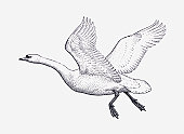 Black and white illustration of Mute Swan (Cygnus olor) in flight
