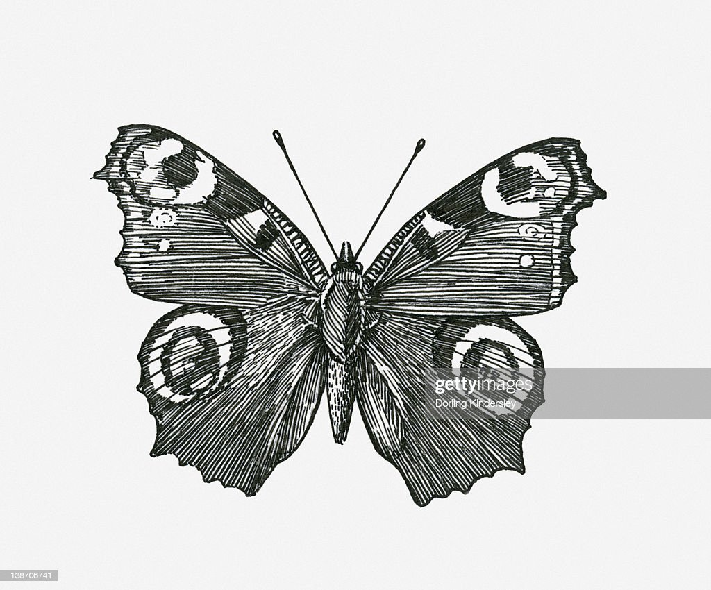 black and white illustration of peacock butterfly with wings