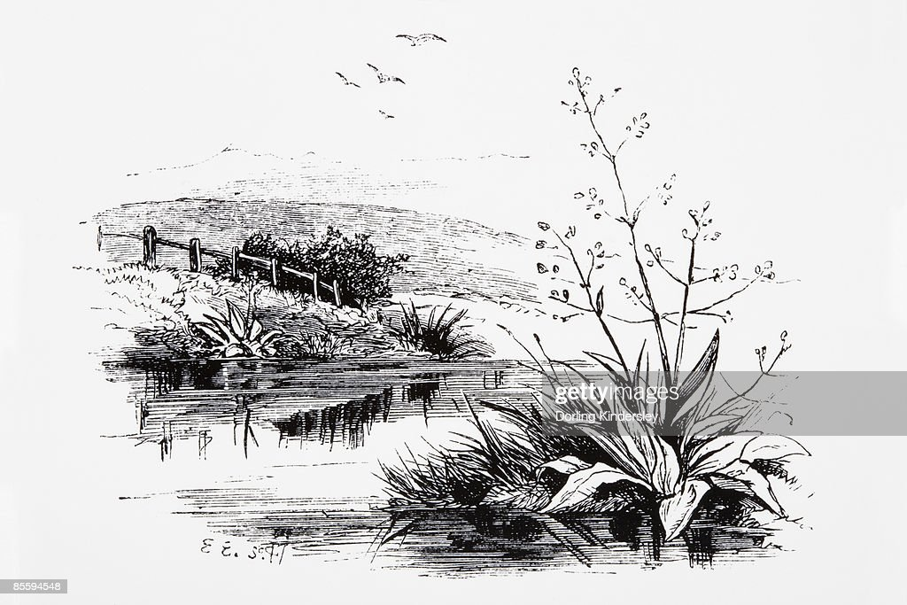 Black and white illustration of plants growing on riverbank in countryside and birds flying above : Stock Illustration