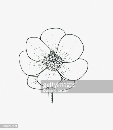 Black and white illustration of saucer-shaped Magnolia flower head : Stock Illustration