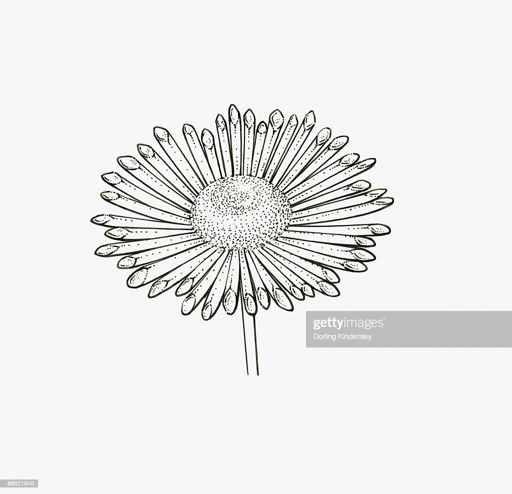 Black and White Illustration quill-shaped Chrysanthemum flower head  : Stock Illustration