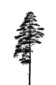Black and white silhouette of a lonely single pine tree.