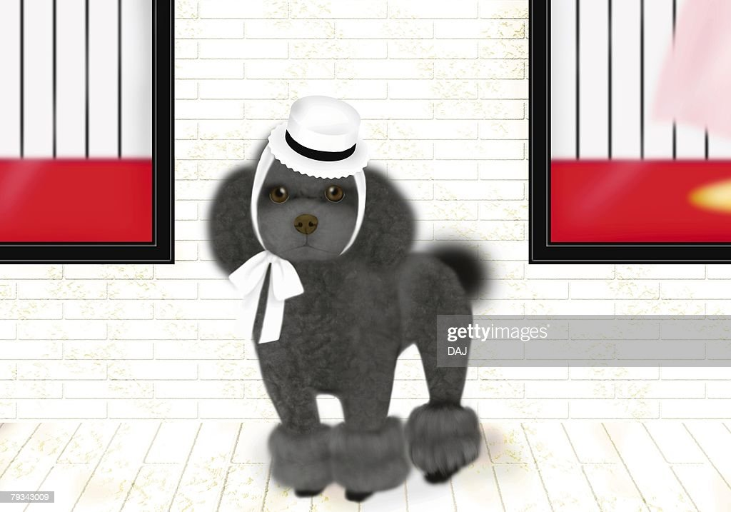Black Toy Poodle wearing a hat, front view : Stock Illustration