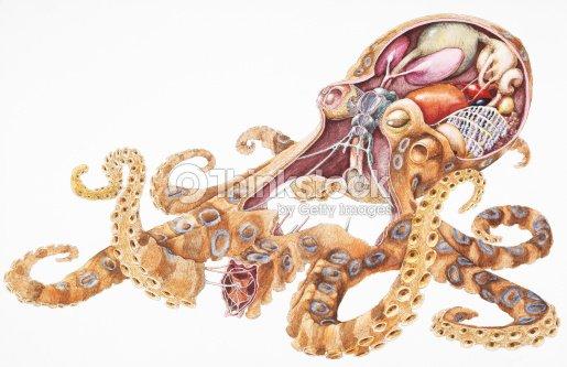 Blueringed Octopus Internal Anatomy Crosssection Stock Illustration