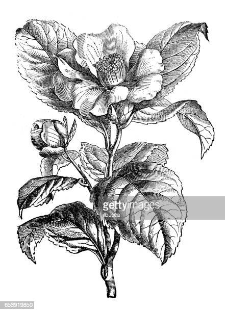 Camellia Flower Line Drawing : Camellia stock illustrations and cartoons getty images
