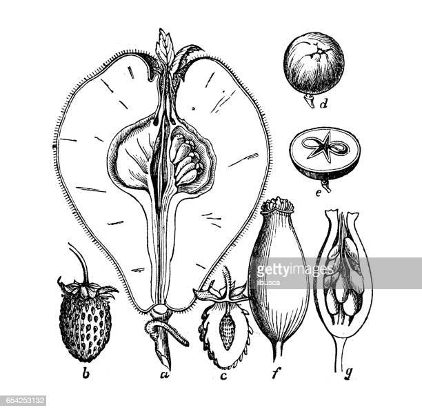 Botany plants antique engraving illustration: Different types of fruits and seeds