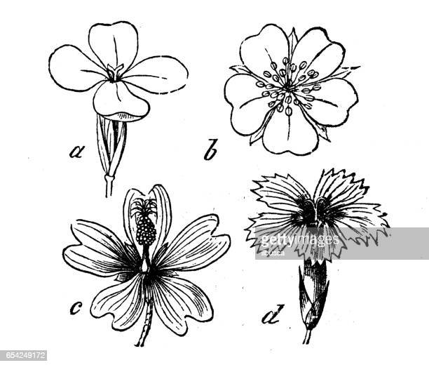 Botany plants antique engraving illustration: Different types of flowers