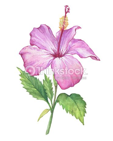 Branch With Pale Pink Hibiscus Flower Watercolor Hand Drawn Painting