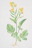 Brassica hirta, Mustard, flowering plant.