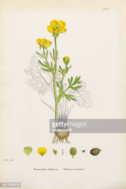 Crowfoot bulbeux, Ranunculus bulbosus, Illustration botanique victorienne, 1863