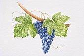 Bunch of dark purple Touriga Nacional grapes on vine.