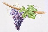 Bunch of purple Sangiovese grapes on vine.