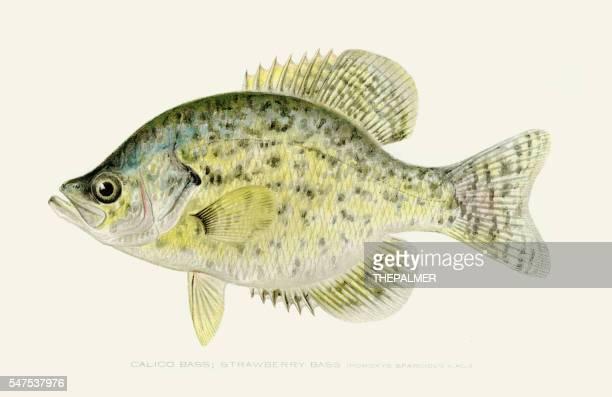 Calico kelp bass illustration 1896