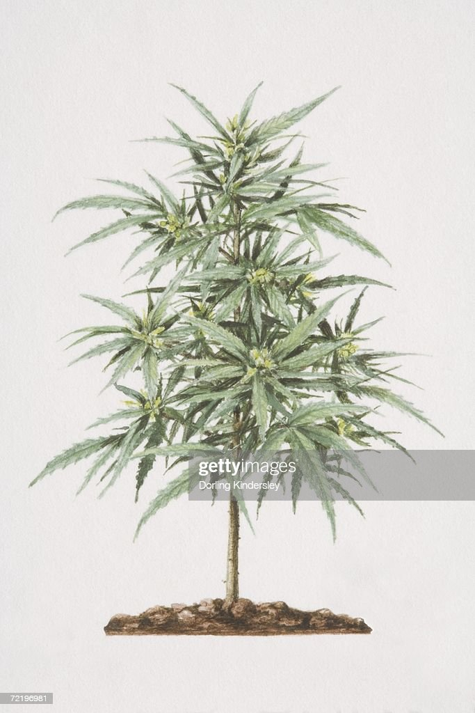 how to grow cannabis in soil indoors