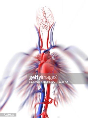 Cardiovascular system, artwork : Ilustração de stock