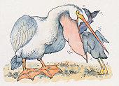 Cartoon of Pelican (Pelecanus) chick standing on tiptoe with head reaching inside open throat pouch of adult bird for fish