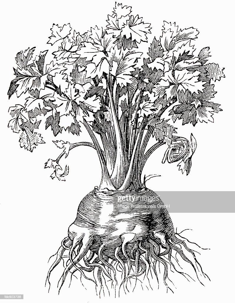 Celeriac (illustration) : Stock Illustration