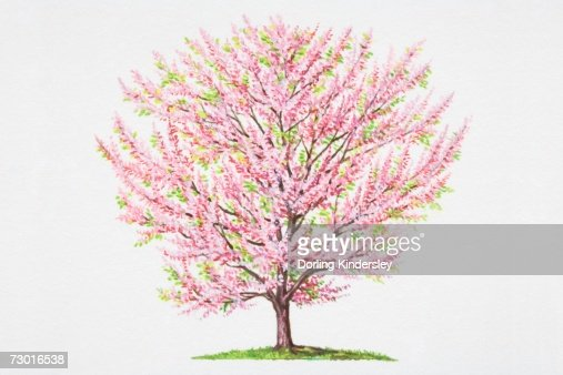 Cercis siliquastrum judas tree profusion of pink flowers growing directly from trunk and - Flowers that grow on tree trunks ...