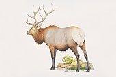 Cervus elaphus, Wapiti or Red Deer, side view.