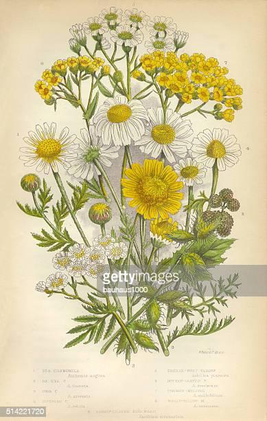 Chamomile, Yarrow, Milfoil, Daisy, Aster, Mayweed, Victorian Botanical Illustration