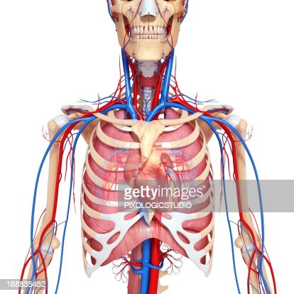 Chest veins anatomy