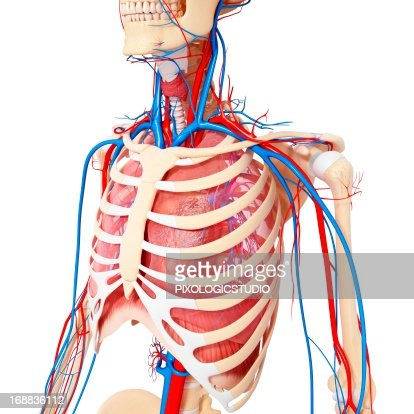 chest anatomy artwork stock illustration | getty images, Cephalic Vein