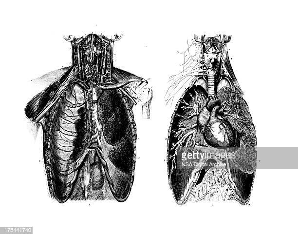 Chest Anatomy Set | Antique Medical Scientific Illustrations and Charts