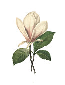 High resolution illustration of a chinese magnolia, isolated on white background. Engraving by Pierre-Joseph Redoute. Published in Choix Des Plus Belles Fleurs, Paris (1827).