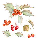 Hand drawn floral images isolated on white background. Holly bush, hazelnut, red berries and leaves
