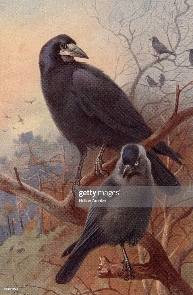 A rook and jackdaw two birds of the crow family