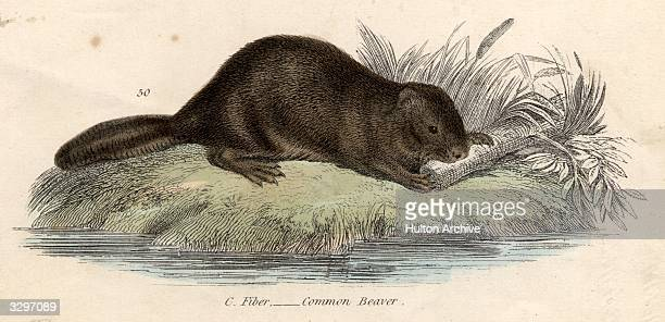The beaver a semiaquatic rodent
