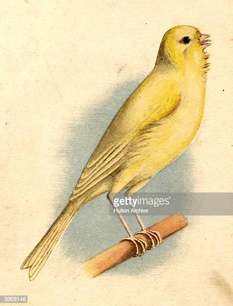 The common yellow Canary