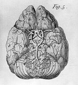 The brain and nerves from an early 19th century book of anatomy