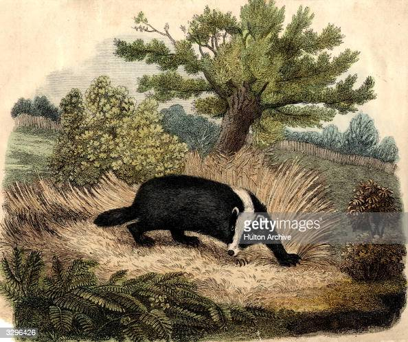 The common badger a nocturnal animal of the otter and weasel family