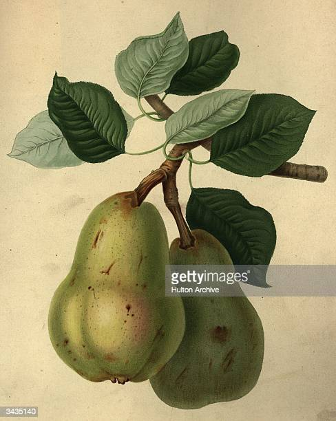 A closeup of two ripe Williams Bon Chretien pears hanging from the branch of a tree A print from the 'Horticultural Society Transactions' Vol 2