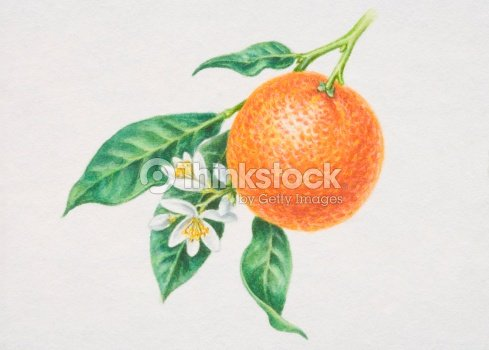 Citrus Sinensis Single Orange Hanging Off Tree With Flowers And Leaves
