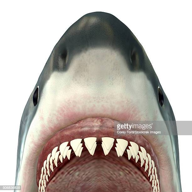 Close-up of a Great White Shark.