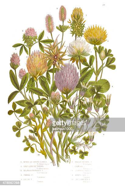 Clover, Purp Clover and White Clover Victorian Botanical Illustration