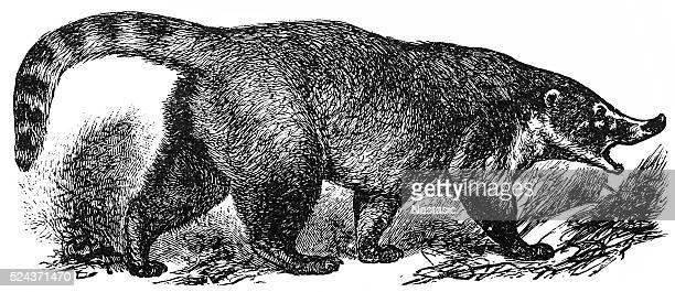 Coati (Nasua socialis)