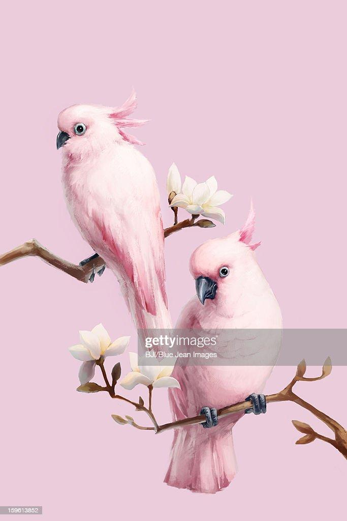 Cockatoos and magnolia : Stock Illustration