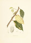 'Antique 19th-century illustration of a theobroma cacao (also known as cocoa tree or cacao tree). Engraving by Berthe Hoola van Nooten from the book Fleurs, Fruits et Feuillages Choisis de l'ille de J