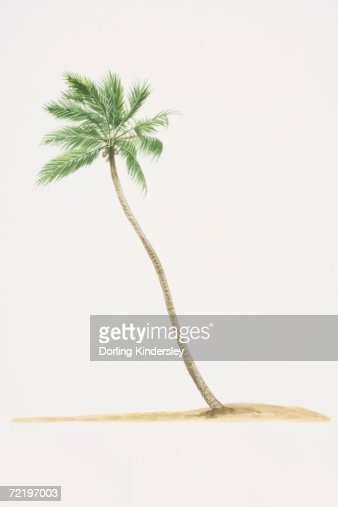 Cocos nucifera, Coconut Palm tree with trunk growing diagonally out of ground. : Stock Illustration