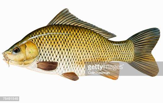 Common carp or european carp freshwater fish stock for Common freshwater fish