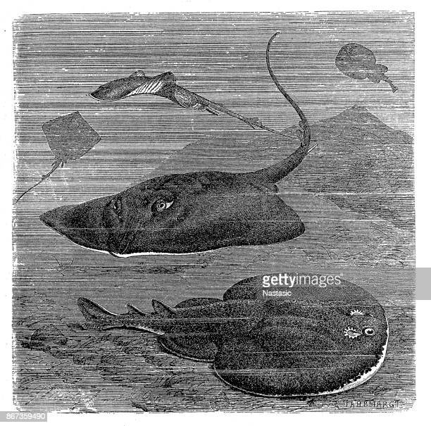 Common skate and marbled electric ray