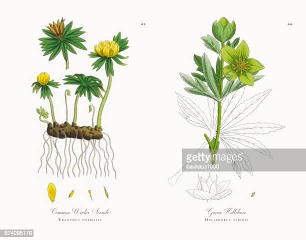 Commune Aconit d'hiver, Eranthus hyemalis, Illustration botanique victorienne, 1863