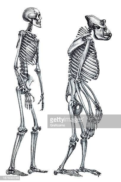 Comparison between human and gorilla skeleton